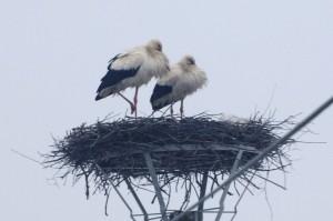 bociany na hniezde